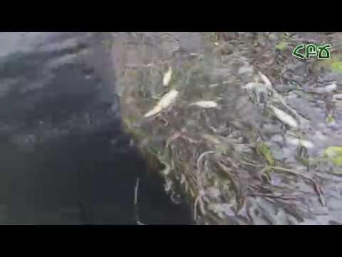 Հազարավոր սատկած ձկներ Հրազդան գետում