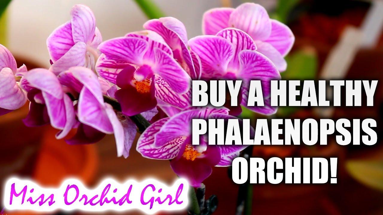 8 Keiki Dendrobium Crumenatum Orchids Species Java FREE GIFT