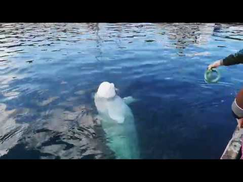 The beluga whale after the harness was removed, playing fetch Mp3
