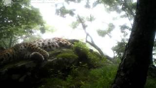 ID1555/ФГБУ Земля леопарда/Кошачьи/Хозяин заповедника Кедровая падь (3)