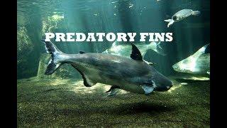 paroon-shark-for-sale-2016-live-freshwater-fish-predatoryfins
