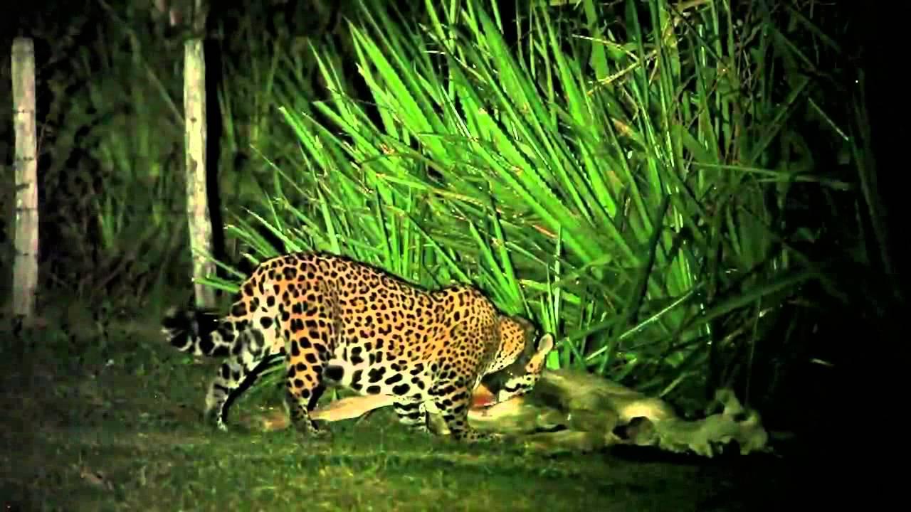 Female Jaguar eating cow in the Pantanal - Projeto ...