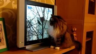 передача для кошек
