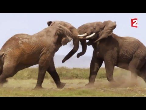 Combat d'éléphants impressionnant - ZAPPING SAUVAGE