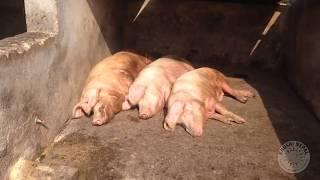 Pig Farming (Khushi Nepal- helping street children)