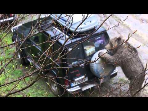 видео: медведь напал на джип