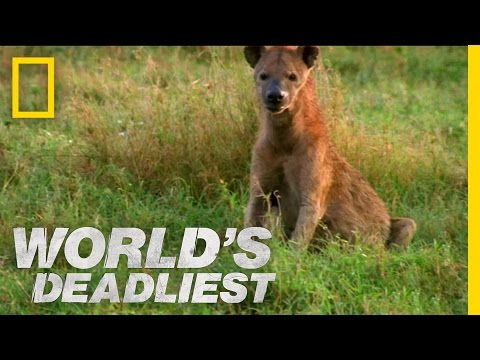 Hyenas Steal Leopard's Kill | World's Deadliest