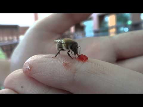 A bee eating jam off my finger. Czech Republic, Prague, Švejk restaurant