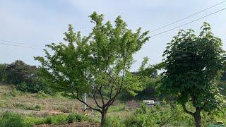 오래된 나무 가지치기(강전정, 나무 다듬기, 가드닝, …