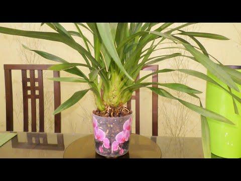 Леденящий тонус для орхидеи цимбидиум! Особенность ухода!