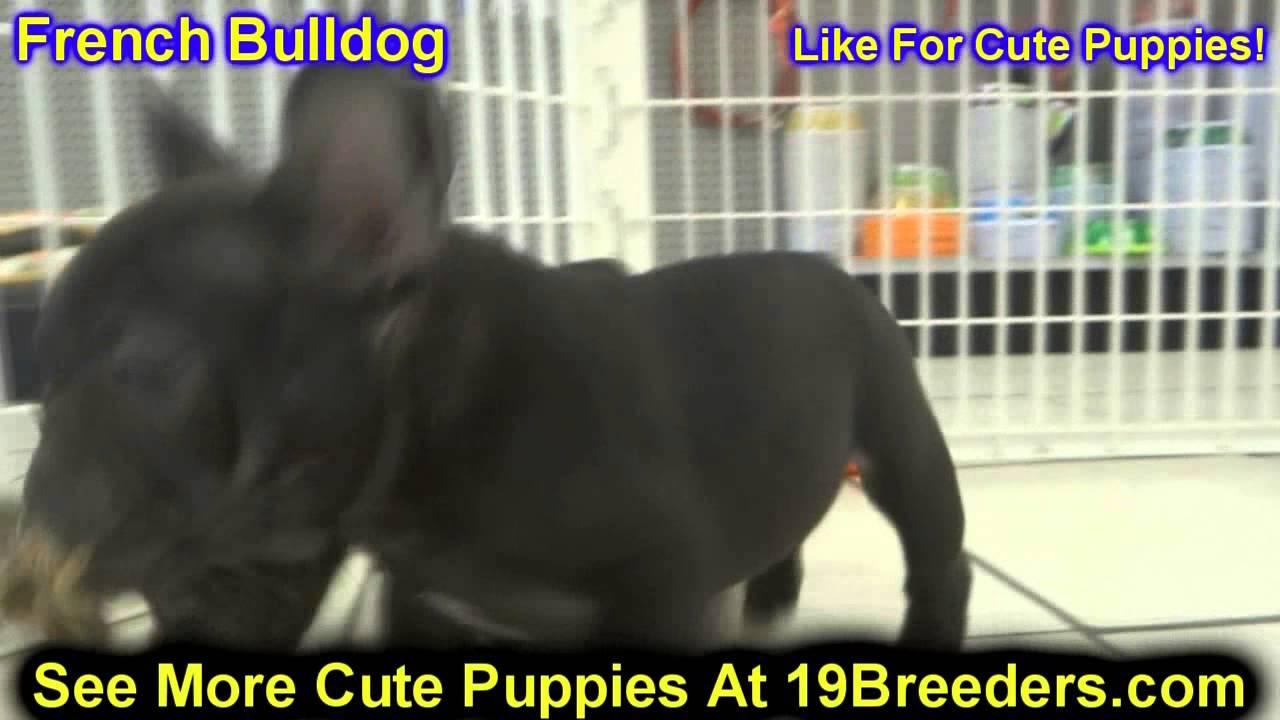French Bulldog, Puppies For Sale, In, Bellevue, Washington, WA, Yakima,  Kitsap, Thurston, Clark, Spo