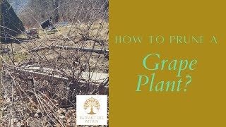 How to prune a grape plant