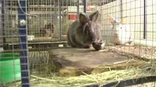 Породы кроликов: кролик лев . Все О Домашних Животных.