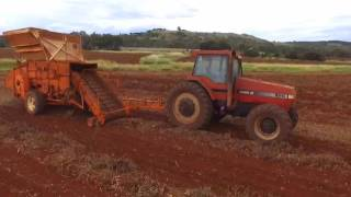 Kingaroy peanut thrashing on the farm