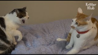 Two Cats Are Too Far Away To Get Close To Each Other | Kritter Klub