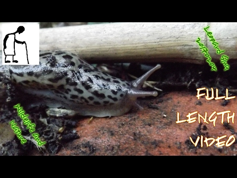 Wildlife and Nature Leopard Slug 20170204 FULL LENGTH