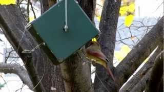Cardinal Bird Feeder - Female Cardinal Feeding From Squirrel Proof Rollerfeeder