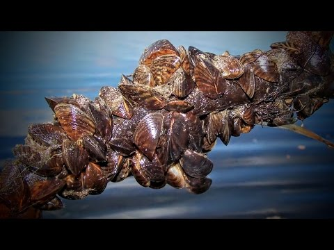 The Hidden Devastations Caused by Zebra Mussels