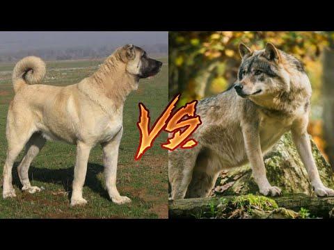 Кангал против Волка! Kangal Vs Wolf