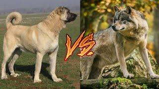 Кангал против Волка!