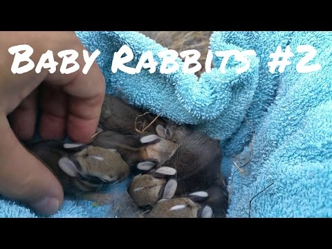Wild Baby Rabbits In My Yard - Update.