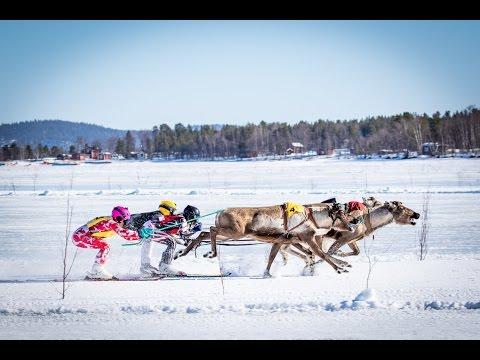 Reindeer Racing In Inari 2016