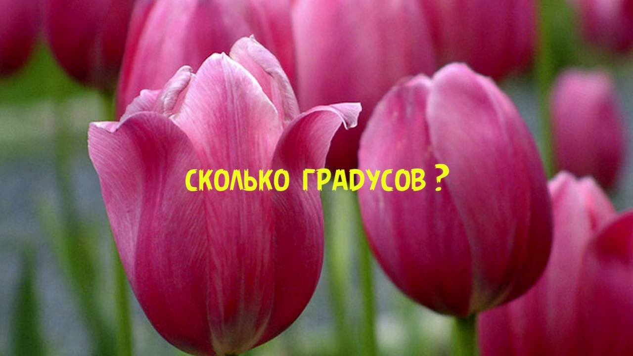Фестиваль тюльпанов на Певческом поле. Киев 2017 - YouTube