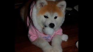 Акита-ину щенок играется/Akita-inu puppie gaming