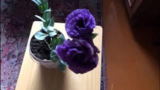 Цветок не для всех!! Чудесная эустома, или по  другому - лизиантус.