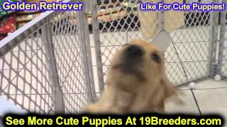 Golden Retriever, Puppies For Sale, In, Kent, Washington, Wa, Bainbridge Island, Mercer Island, Mapl