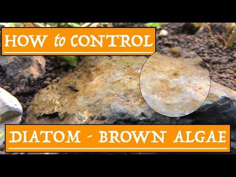 How To Control Brown Algae In Your Planted Aquarium -  2019 [Diatom]