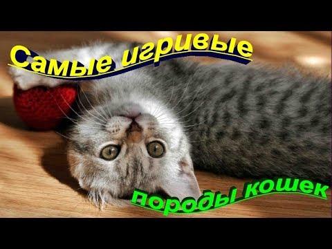 САМЫЕ ИГРИВЫЕ ПОРОДЫ КОШЕК  THE MOST PLAYFUL CATS