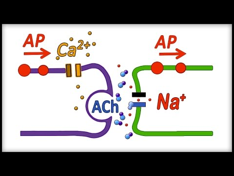 Neuron, Action Potential, Part 3 - Chemical Synapse and Synaptic Transmission