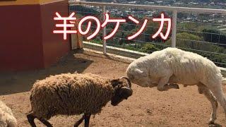 まるで仲裁するように割り込んでくる羊がいたり、野次馬ならぬ、野次羊...