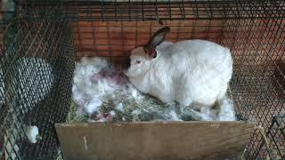 Iki dovşan bala doğdu ve dovşan doğandan sonra neynemek lazımdır