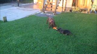 Staffy Vs Dachshund Tug O War