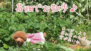 撮影日 2017年5月15日 ロージー 1歳10ヶ月 シェリジェム 生後26日目 畑...