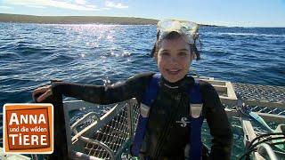 Mit dem Hai unter Wasser (Doku) | Reportage für Kinder | Anna und die wilden Tiere