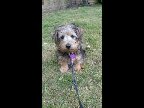 Bertie - Norfolk Terrier Puppy - 3 Weeks Residential Dog Training
