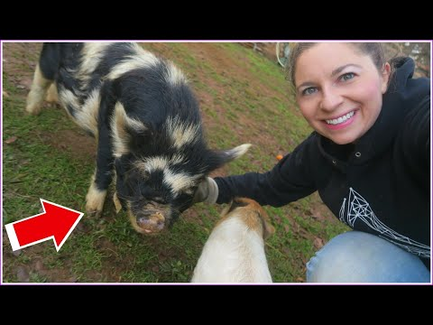 What Do We Feed Our KUNEKUNE PIGS?! A Day On Our Small Farm!