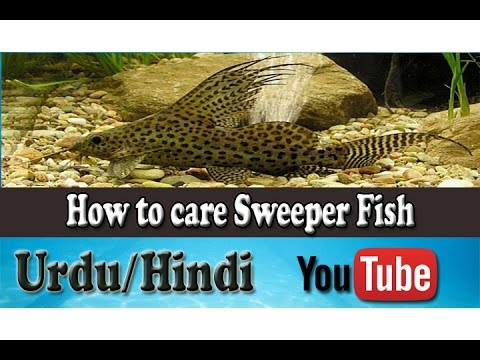 How to care pleco sucker fish tank mates urdu hindi for How to take care of fish tank