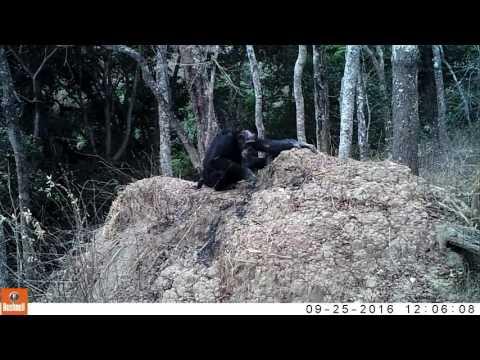 Chimpanzees termite fishing in the Issa valley, Tanzania (Oct2016, credit Ugalla Primate Project)