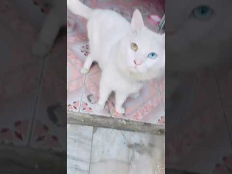 Turkish angora cat unique eyes