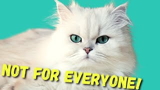 DON'T Get A PERSIAN CAT before watching THIS!