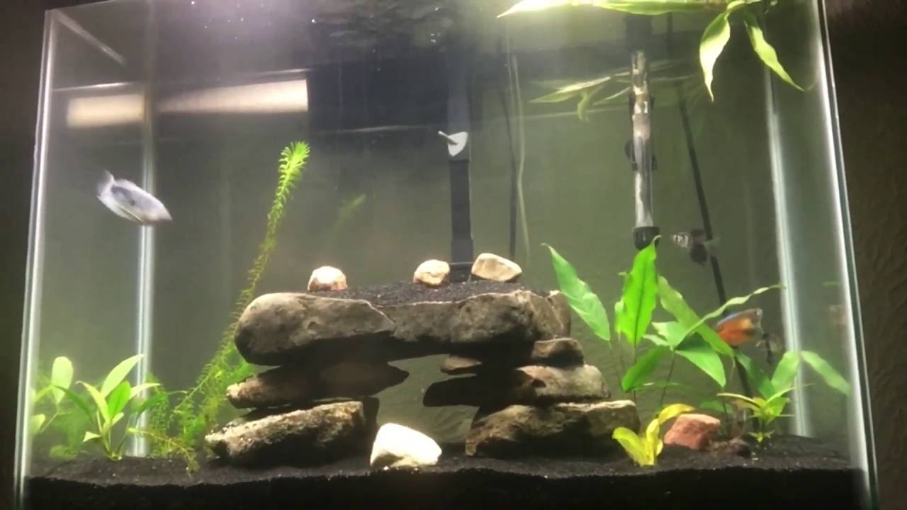40 gallon tall community gourami aquarium youtube