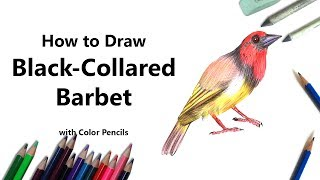 How to Draw a Black-Collared Barbet with Color Pencils [Time Lapse]