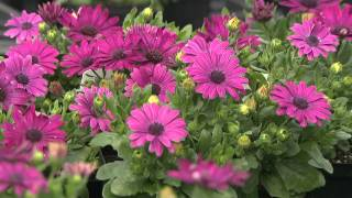 Gambar cover African Daisy - Southern Gardening Television