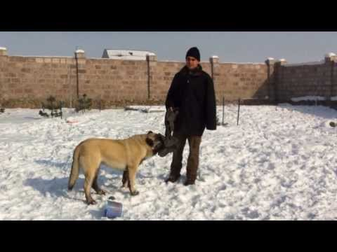 Armenian Wolfhound - Gampr, Հայկական Գելխեխտ - Գամփռ, Армянский Волкодав - Гампр (Хатико - ХаЧико)