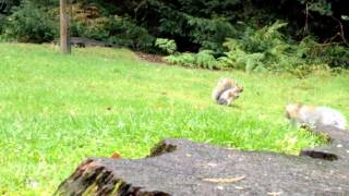 Clumber Park Squirrels - 25th September 2012 1080p HD
