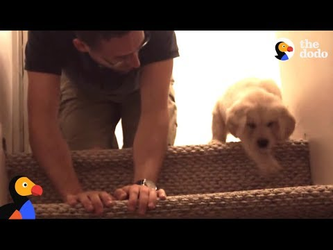 puppy-tries-stairs-for-first-time-with-help-from-dad-|-the-dodo